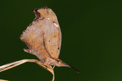 Libythea celtis / butterfly on twig. Butterfly on twig/ look like a leaf Royalty Free Stock Photo
