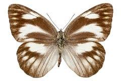 Libythea d'Appias d'espèce de guindineau Images libres de droits