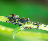 Lice and Ants. On the stem of a flower Stock Images