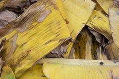Licença amarela seca da banana do close up fotografia de stock
