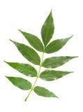 Licença da árvore de cinza fotografia de stock