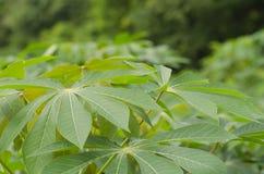 Licença da planta da mandioca ou de mandioca em Tailândia Fotos de Stock Royalty Free