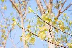 Licença de Bodhi na árvore Imagem de Stock Royalty Free
