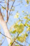 Licença de Bodhi na árvore Fotos de Stock Royalty Free