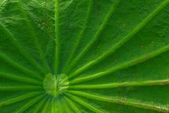 Licença de Lotus Imagem de Stock Royalty Free