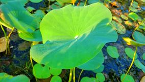 Licença de Lotus Imagens de Stock