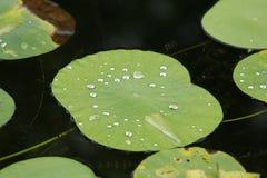 Licença de Lotus foto de stock