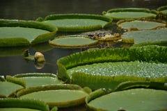 Licença diferente dos lótus que flutua no lago Fotos de Stock Royalty Free