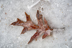 Licença do carvalho no gelo de derretimento Foto de Stock Royalty Free