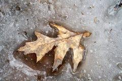 Licença do carvalho no gelo de derretimento Imagens de Stock