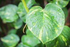 Licença verde com gotas da água Imagens de Stock Royalty Free