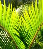 Licença verde da palmeira Fotos de Stock Royalty Free