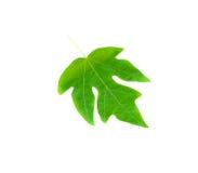 Licença verde da papaia imagens de stock royalty free