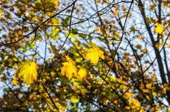 Licencia amarilla del arce del otoño Fotos de archivo libres de regalías