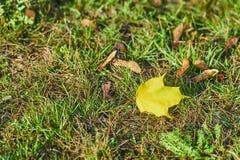 Licencia de otoño amarilla en una hierba verde fotos de archivo libres de regalías