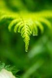 Licencia del helecho en lluvia Fotos de archivo libres de regalías