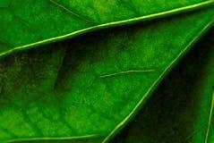 Licencia del hibisco Foto de archivo