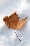 Licencia rojo marrón en la nieve Imágenes de archivo libres de regalías