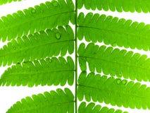Licencia verde del helecho imagen de archivo libre de regalías