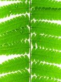 Licencia verde del helecho fotos de archivo