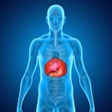 Lichaam met organen Stock Foto