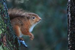 Lichaam van de Sciurus vulgaris, rode eekhoorn en gezichtsportretten Royalty-vrije Stock Fotografie