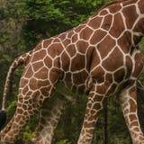 Lichaam van Giraf stock afbeeldingen