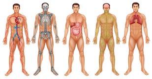 Lichaamssystemen Stock Afbeelding
