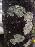 Lichen d'A  Photo stock