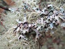 Lichen étroit Photo libre de droits