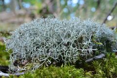 Lichen images stock