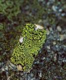 Lichen. Map Lichen, Rhizocarpon geographicum, over a rock stock image