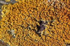 Lichen Photographie stock