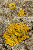 Lichen Royalty Free Stock Image
