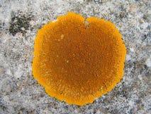 Lichen. The close up photo of lichen Caloplaca marina Stock Images