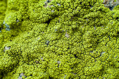 Free Lichen Stock Images - 14263464