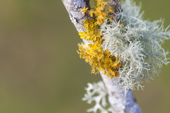 Lichen. Two colors lichen over a branch royalty free stock photo