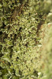 Lichen Royalty Free Stock Photo