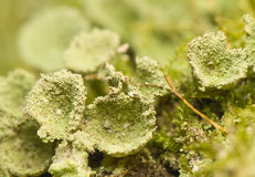 Lichen Stock Photo
