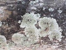 Lichen Image stock