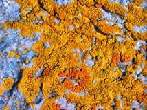 Lichen. Stock Images
