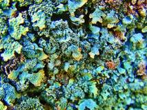 Lichen photo stock
