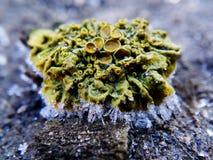 Lichen Photographie stock libre de droits