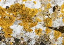 Lichen Photo libre de droits