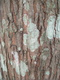 Lichen. A lichen; algae and fungus ina symbiotic relatonship on a tree Royalty Free Stock Photos