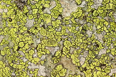 Lichen background Royalty Free Stock Photography