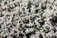 Lichen Background of Stereocaulon spp Stock Photo