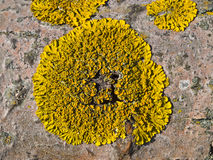 Lichen on bark Royalty Free Stock Photos