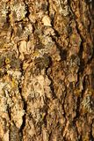 Lichen on Bark Stock Image