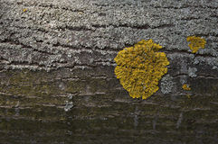 Lichen on bark. Detailed view of lichen on a tree bark stock photos